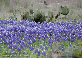 Bluebonnet Flowers - studying the bluebonnet great stems