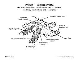 phylum echinodermata starfish sea urchins sand dollars etc