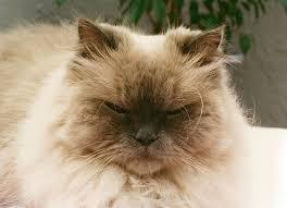 photos himalayan cat named baby kitty