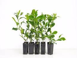 Fragrant Plants Florida - gardenia augusta florida low hedge fragrant white flowers garden