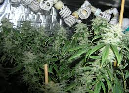 cfl lights for growing weed grow lights for stealth and indoor growing super powerful grow
