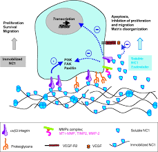 new functional roles for non collagenous domains of basement
