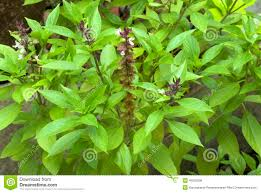 african native plants herb clove basil leaves and flowers stock photo image 49255608