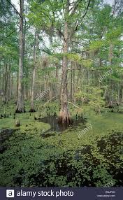 Louisiana travel tags images Swamp atchafalaya basin lafayette louisiana usa north america jpg