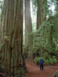 list of california native plants pictures of the redwood forest of california and some of its
