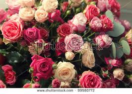 Multicolor Roses Rose Garden Stock Images Royalty Free Images U0026 Vectors Shutterstock