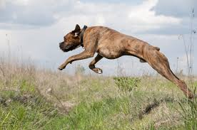 boxer dog with full tail ask a vet why do dogs have tails u2013 iheartdogs com