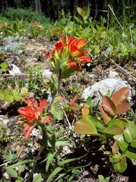 indian paintbrush flower indian paintbrush facts legend lore owlcation