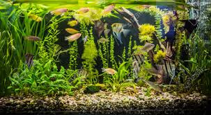 Aquarium Tropical Plants A Green Beautiful Planted Tropical Freshwater Aquarium With Fishes