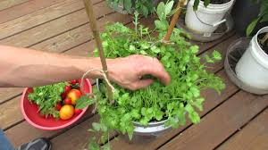 How To Store Garden Vegetables For Winter Harvesting U0026 Growing Cilantro In 5 Gallon Containers My 1st