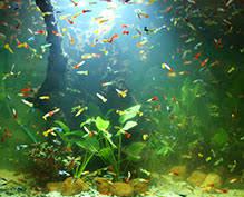 buy sri lankan freshwater aquarium fish best small ornamental fish