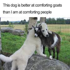 Funny Goat Memes - 27 ridiculously happy dog memes to brighten your day blazepress