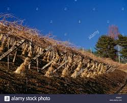 Pergola System by Vines Grown On The Pergola System Wrapped In Straw Against Extreme