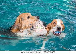 young beagle dog swimming pool stock photo 394333411 shutterstock
