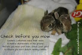 baby rabbit the wildlife center of virginia