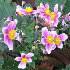 anemone plant the battery plant database windflower anemone hupehensis