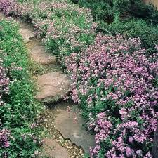 plants for shady rock garden soapwort saponaria ocymoides plants