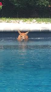 see it baby deer breaks into new jersey pool for daily swim ny