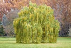 the meaning of a willow tree pen and the pad
