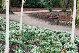 carole drake silver birch trees underplanted with snowdrops in