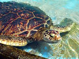 color of turtles wallpaper download cucumberpress com