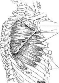 Innervation Of Infraspinatus Shoulder Anatomy Extremity Splinting Mitch Medical Healthcare