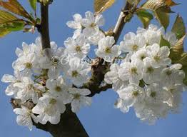 stella cherry trees for sale buy friendly advice they