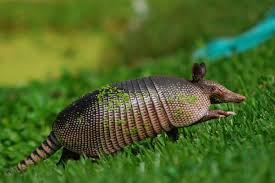 leave armadillos u0027re animals give