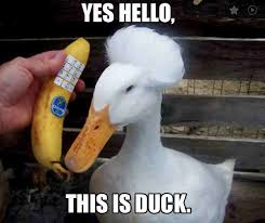 Duck Meme - 20 totally adorable duck memes you won t be able to resist