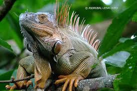 imágenes de iguanas verdes iguana verde galerías fotonatura org