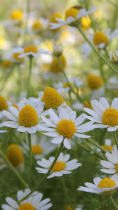 400 best daisy u0027s images on pinterest daisies flowers and