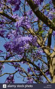 jacaranda in the royal botanic gardens melbourne stock photo