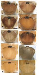 nine new species of the eremobates scaber species group of the