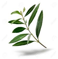 fresh olive tree branch green leaves isolated on white background