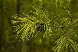 free photo pine cones pine needles tree free image on