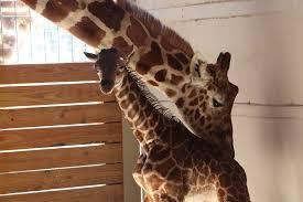 Giraffe Floor L April The Giraffe An Gives Birth Finally The