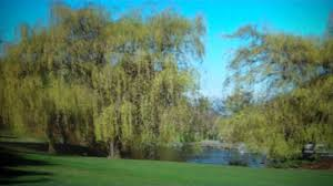 black willow trees for sale 2 50 at tn tree nursery
