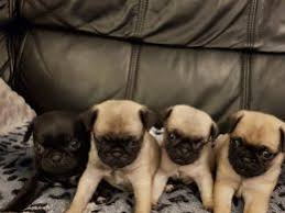 pug x australian shepherd chug dogs and puppies for sale in the uk pets4homes