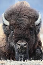 Bison Connect Department Of Interior Rewilding Bison From Romania To Alaska U2013 National Geographic
