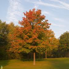 buy fast growing shade trees the planting tree