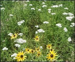native plant plugs michigan wildflower farm