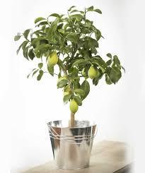 send a large lemon tree as a plant gift quality plants fast uk