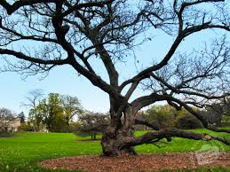 free bare old oak tree photo fall foliage picture autumn