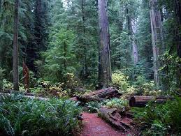 California Forest images Pictures of the california coast redwood forest plant community jpg