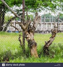 tree growing wire fence stock photos u0026 tree growing wire fence