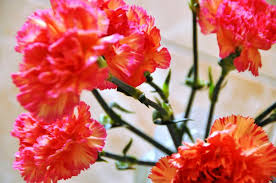carnation flowers how to eat carnations leaftv