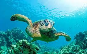 imagenes tortugas verdes tortuga verde información y características