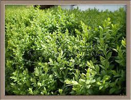 buxus sempervirens in vaso pianta di bosso pianta buxus sempervirens piantine di bosso in