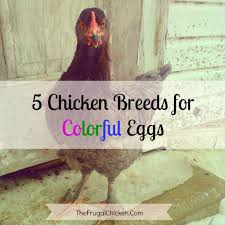 5 chickens to raise for colored eggs colored eggs egg and fans