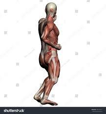 Human Anatomy Male Human Anatomy Male Muscles Made 3d Stock Illustration 141531811
